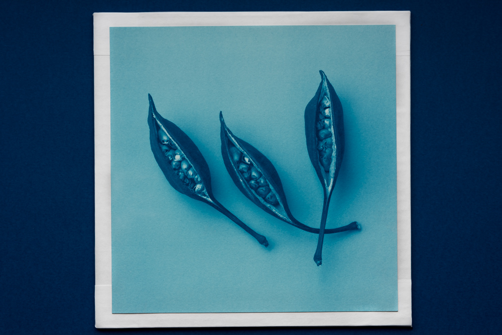 3 seeds in cyanotype