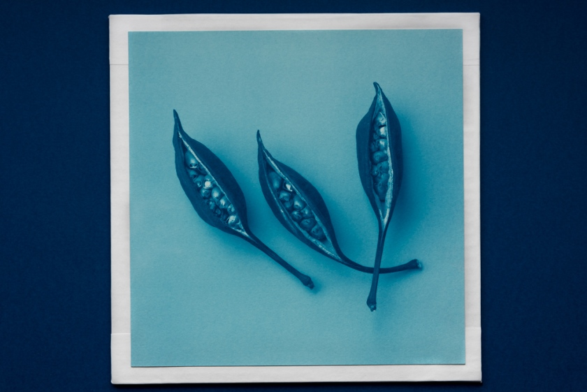 3 seeds in cyanotype
