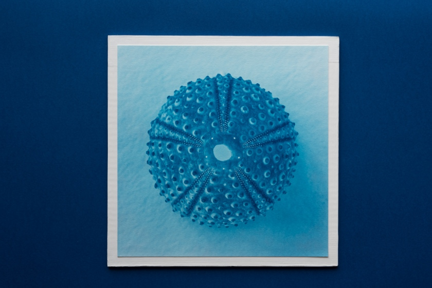 sea urchin cyanotype print