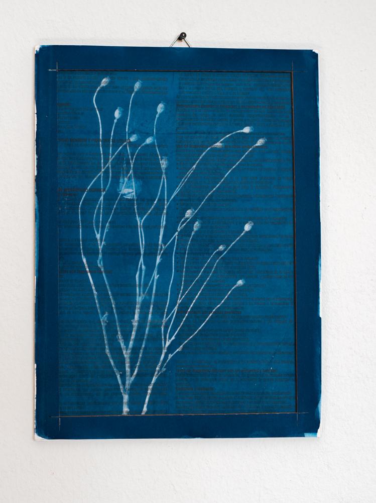 Medicine Plant cyanotype poppies