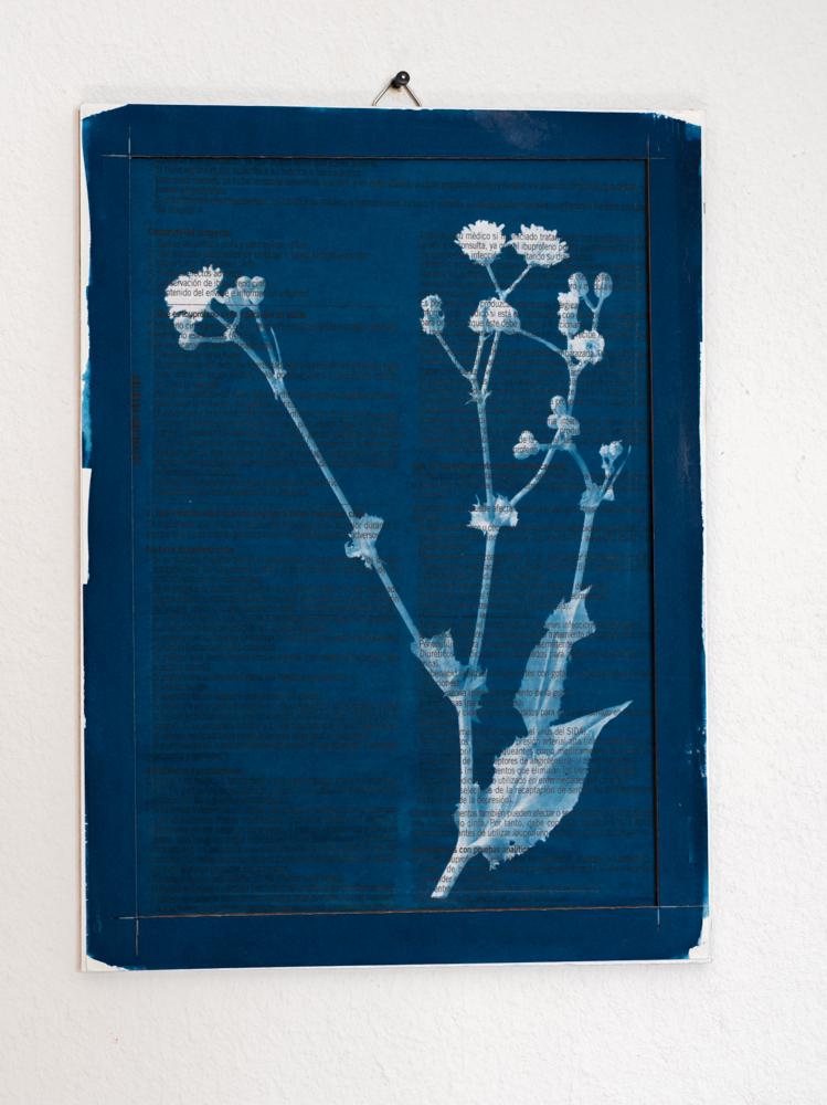 Medicine Plant cyanotype sonchus