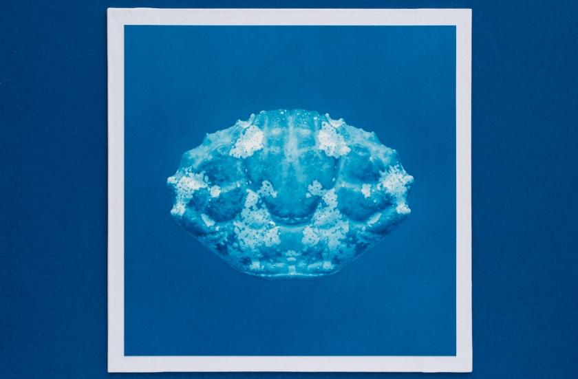 macro crab cyanotype